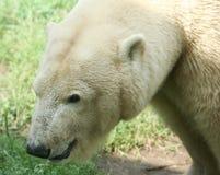 Polair-beer stock afbeeldingen