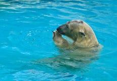 Polaire Bear Royalty-vrije Stock Foto's