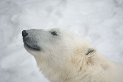 Polaire Bear Stock Fotografie