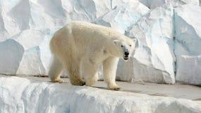 Polaire Bear Stock Afbeelding