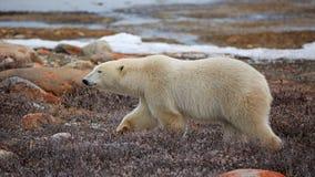 Polaire Bear royalty-vrije stock foto