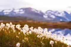 Polaire bloemen Stock Afbeelding