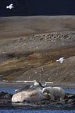 Polaire concerne lavé vers le haut du cachalot Photos stock