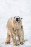 Polaire concernez la neige, ours blanc a émergé de l'eau, portrait de Photos stock