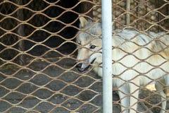 Polaire de wolfszweertundrarum van wolfs achter de tralies Canis Stock Foto's