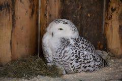 Polaire Uil in gevangenschap, polaire uil in de dierentuin royalty-vrije stock foto's