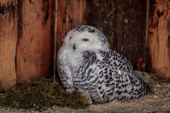 Polaire Uil in gevangenschap, polaire uil in de dierentuin royalty-vrije stock foto