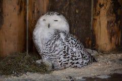 Polaire Uil in gevangenschap, polaire uil in de dierentuin royalty-vrije stock fotografie