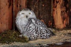 Polaire Uil in gevangenschap, polaire uil in de dierentuin royalty-vrije stock afbeeldingen