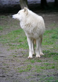 Polaire Wolf 3 Stock Fotografie