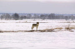 Polaire wolf (Canis wolfszweeralbus) Royalty-vrije Stock Afbeelding