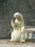 Polaire zij-beer Stock Foto