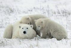 Polaire zij-beer met welpen. Stock Foto's