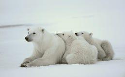 Polaire zij-beer met welpen. Stock Afbeeldingen
