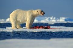 Polaires blancs concernent la glace de dérive avec le joint de mise à mort de neige, le squelette et le sang de alimentation, le  Images libres de droits