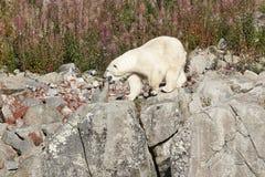 Polaires femelles concernent la région sauvage Environnement sauvage de nature Images libres de droits