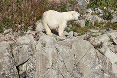 Polaires femelles concernent la région sauvage Environnement sauvage de nature Photographie stock libre de droits