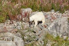 Polaires femelles concernent la région sauvage Environnement sauvage de nature Images stock