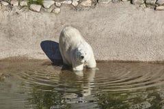 Polaires femelles concernent le zoo Environnement de nature Images libres de droits