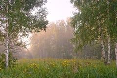 Polana w brzozy drewnie w ranku Zdjęcia Royalty Free