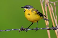 Closeup of a Yellow wagtail bird in a spring nesting period. Poland, Biebrzanski National Park – closeup of a Yellow wagtail bird – latin: Motacilla flava Stock Photography