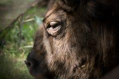 Poland bison Royalty Free Stock Photos
