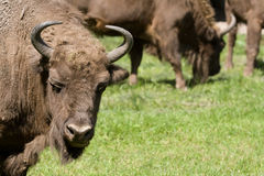 Poland bison Royalty Free Stock Photo