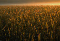 Poland.Field of cereal in the morning fog.Horizontal. Royalty Free Stock Photo
