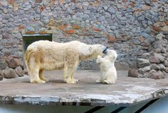 Polar baby bear kissing the mother. In the zoo Royalty Free Stock Image