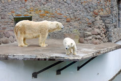 Polar baby bear and the mother Royalty Free Stock Image