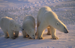 Polar baer with her cubs on the Arctic tundra Stock Photography