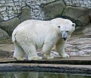 Polar bear 10 Stock Images