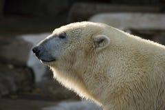 Polar bear. Photo of the profile of a polar bear Royalty Free Stock Image