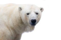 Polar bear. A polar bear isolated on white Royalty Free Stock Photos