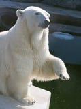 Polar bear. A polar bear in the Moscow Zoo stock photo