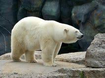 Polar Bear. Standing on the rock royalty free stock photo