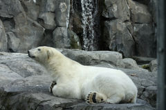 Polar Bear. Relaxes in the Anchorage Zoo stock photography