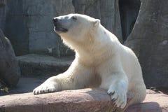 Polar bear. Relaxing in the sun royalty free stock image