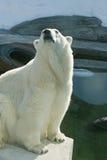 Polar bear Stock Photos