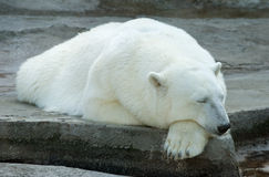 Polar bear. Sleeping polar bear in the Moscow Zoo Stock Photography