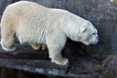 Polar bear. In the zoo stock photography