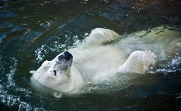 Polar bear. In the zoo royalty free stock image
