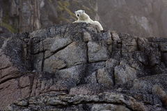 Polar Bear. Waiting the summer out high up on rocks, Svalbard, Arctic Circle stock photo