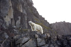 Polar Bear. Waiting the summer out high up on rocks, Svalbard, Arctic Circle royalty free stock photography