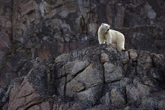 Polar Bear. Waiting the summer out high up on rocks, Svalbard, Arctic Circle stock photos