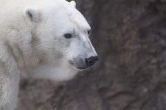 Polar Bear. A large male polar bear looks on in the Denver Zoo.  There is room for copy with the background blurred intentionally Royalty Free Stock Images
