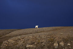 Polar Bear. On the horizon, Svalbard, Arctic Circle stock images