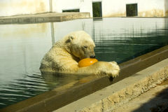 Polar bear. In the Zoo of Nyiregyhaza Stock Image