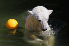 Polar bear. Floating in pool in a zoo with an orange ball Stock Images