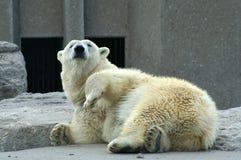 Polar Bear. A sleepy polar bear lying on the rock royalty free stock images